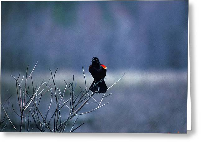 Greeting Card featuring the photograph Red-wings Morning Call 10o by Gerry Gantt
