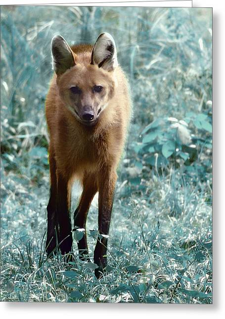 Greeting Card featuring the photograph Red Wolf by Raymond Earley