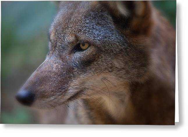 Red Wolf Stare Greeting Card by Karol Livote