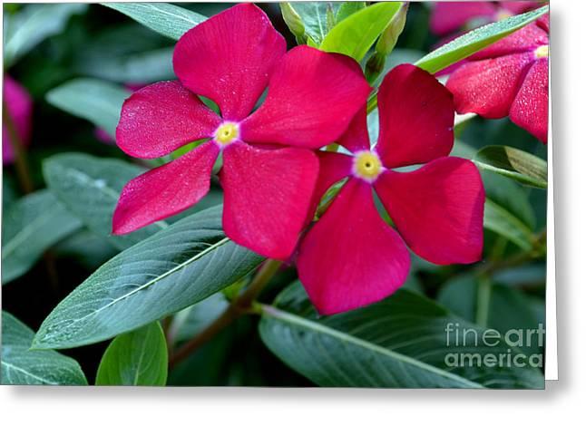 Red Woodland Phlox Flowers Greeting Card by Eva Thomas
