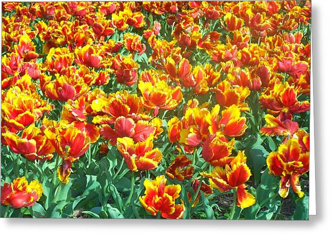 Red-yellow Tulips Greeting Card