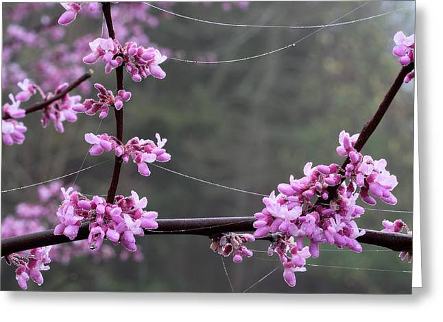 Redbud With Webs And Dew Greeting Card