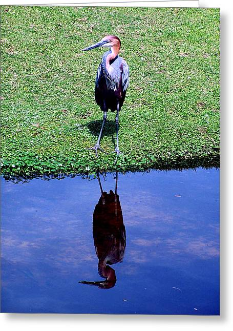 Reddish Egret  Greeting Card by Michelle Harrington