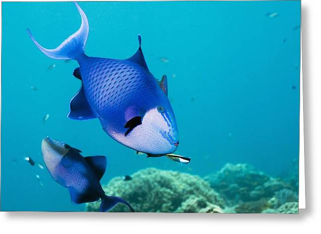 Redtoothed Triggerfish Greeting Card by Georgette Douwma
