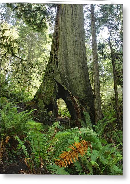 Redwood Forest Greeting Card by Pierre Leclerc Photography