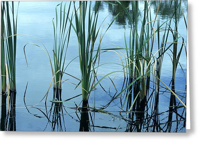 Reeds In The Water Greeting Card