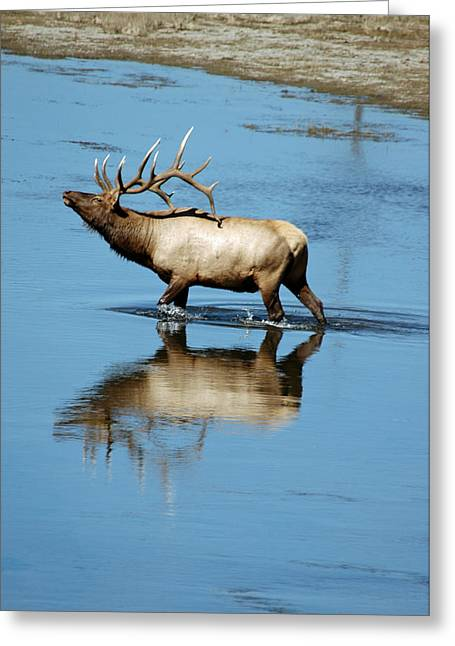 Reflections Of An Elk Greeting Card