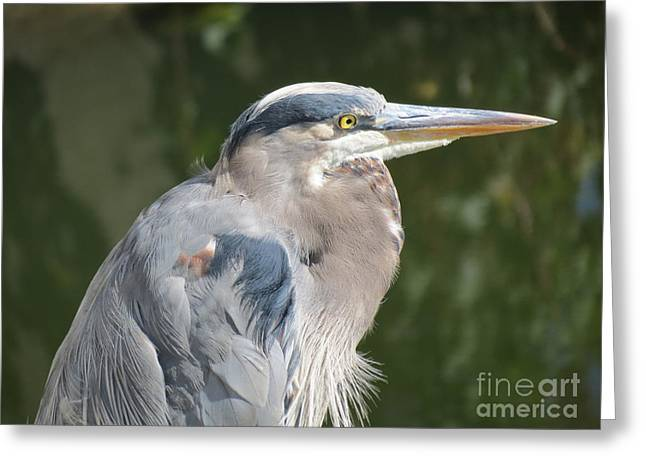 Regal Heron Greeting Card by Gayle Swigart