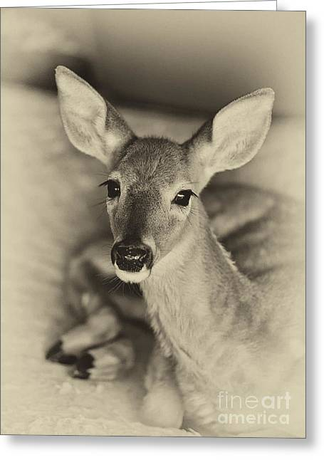Resting Fawn Greeting Card by Cheryl Davis