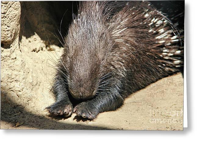 Resting Porcupine Greeting Card by Mariola Bitner