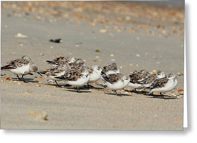 Resting Sandpipers Greeting Card