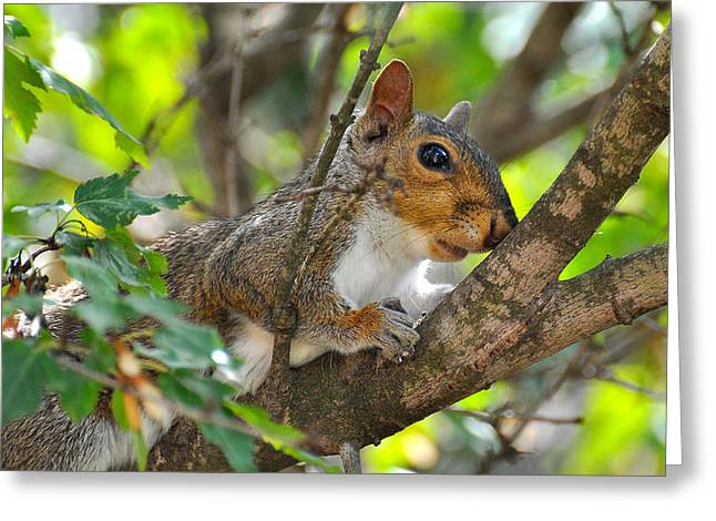 Resting Squirrel Greeting Card by Todd Hostetter