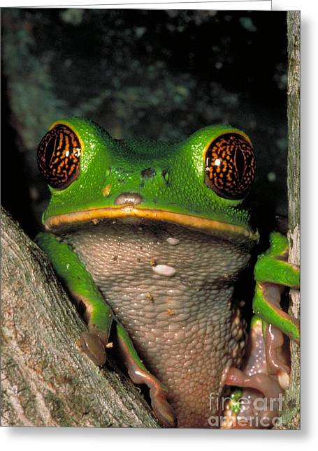 Reticulate Eye Monkey Frog Greeting Card by Dante Fenolio