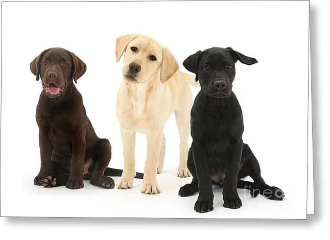 Retriever Pups Of Every Color Greeting Card by Mark Taylor