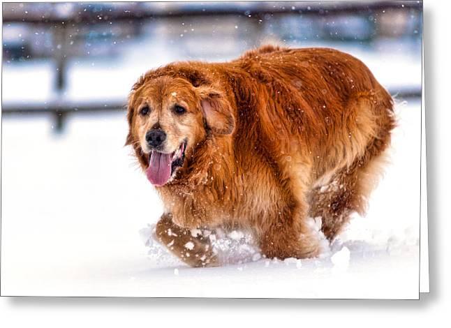 Retriever Running In Snow Greeting Card