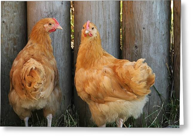 Rhode Island Red Greeting Card by Kim French