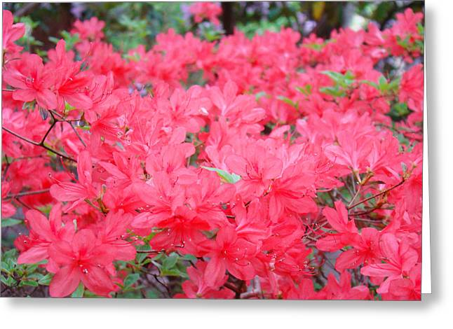 Rhodies Art Prints Pink Rhododendrons Floral Greeting Card by Baslee Troutman