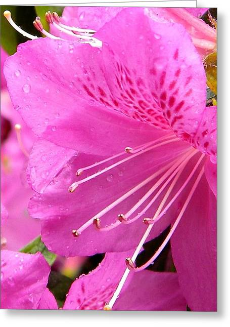 Rhododendron Flower Greeting Card by Manuela Constantin