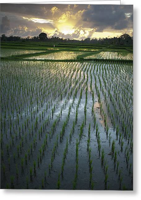 Rice Fields, Near Ubud Bali, Indonesia Greeting Card by Huy Lam