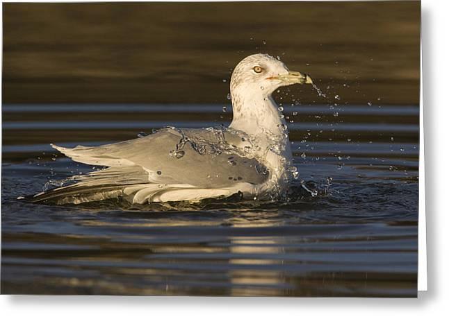 Ring Billed Gull  In Breeding Plumage Greeting Card by Sebastian Kennerknecht