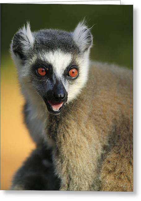 Ring-tailed Lemur Calling Greeting Card by Cyril Ruoso