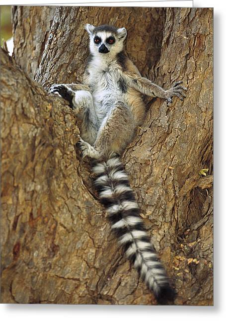 Ring-tailed Lemur In A Tree Greeting Card by Cyril Ruoso