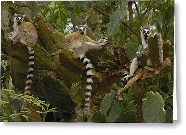 Ring-tailed Lemur Lemur Catta Trio Greeting Card by Pete Oxford