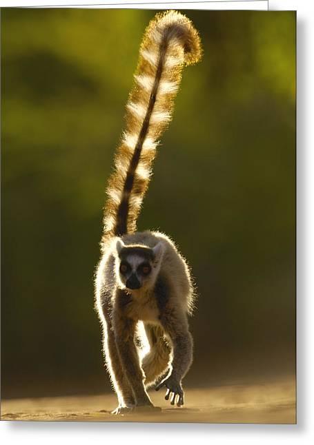 Ring-tailed Lemur Lemur Catta Walking Greeting Card by Pete Oxford