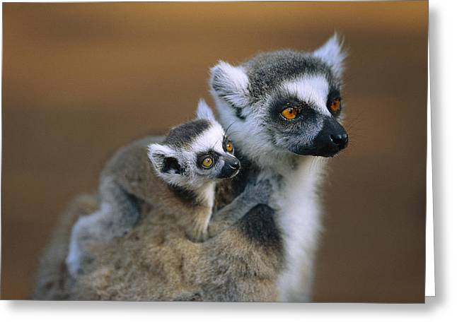 Ring-tailed Lemur Mother Carrying Baby Greeting Card by Cyril Ruoso