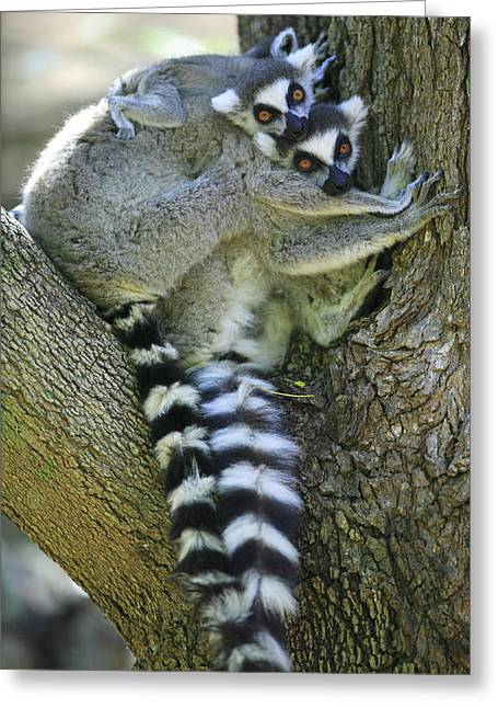 Ring-tailed Lemurs Madagascar Greeting Card by Cyril Ruoso