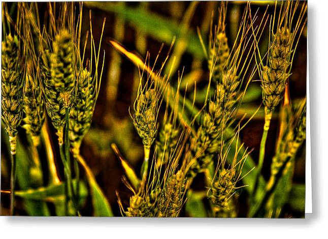 Ripening Wheat Greeting Card by David Patterson