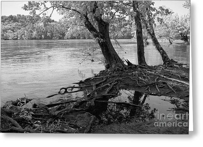 River-washed Roots Greeting Card by Susan Isakson