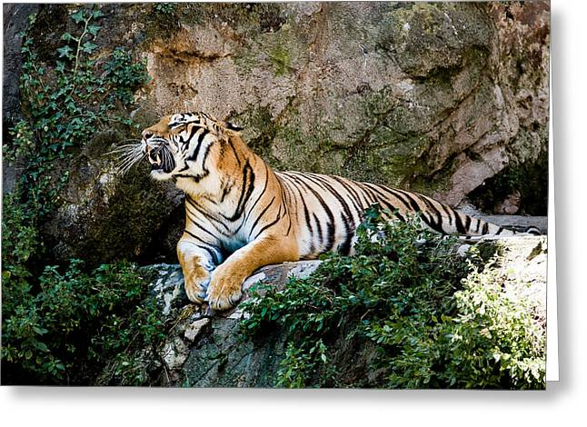 Roaring Tiger Greeting Card by Hakon Soreide