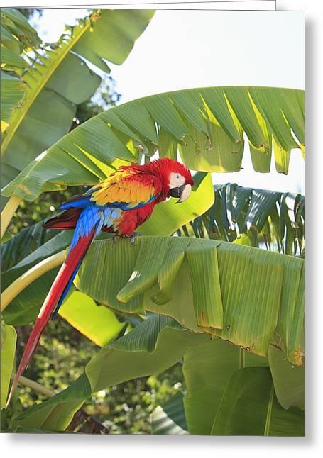 Roatan, Bay Islands, Honduras A Scarlet Greeting Card by Stuart Westmorland