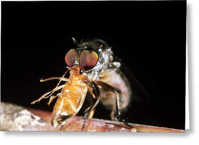 Robber Fly Feeding On A Cockroach Greeting Card by Dr Morley Read