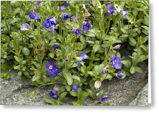 Rock Speedwell (veronica Fruticans) Greeting Card by Bob Gibbons