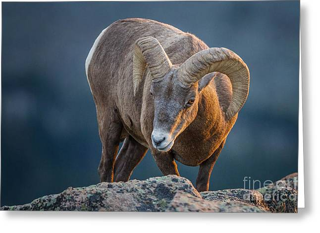 Rocky Mountain Big Horn Ram Greeting Card