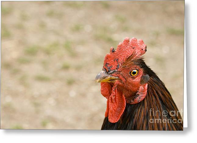 Rooster Greeting Card by Igor Kislev