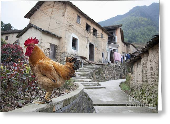 Rooster On A Roadside Wall Greeting Card by Shannon Fagan