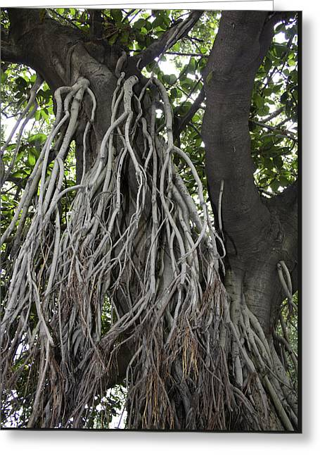 Roots From A Large Tree Inside Jallianwala Bagh Greeting Card by Ashish Agarwal
