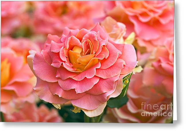 Rosa 'brass Band' Greeting Card by Alan Detrick and Photo Researchers