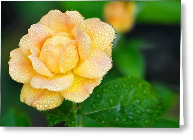 Rosa Floribunda Easy Going Greeting Card by Scott Holmes
