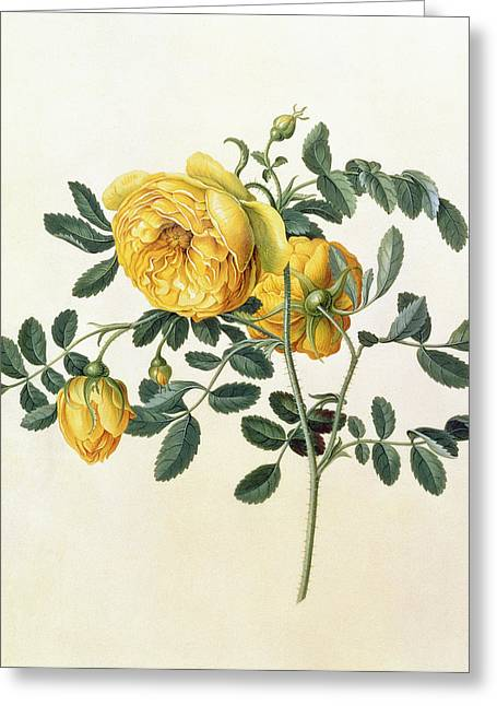 Rosa Hemispherica Greeting Card by Georg Dionysius Ehret