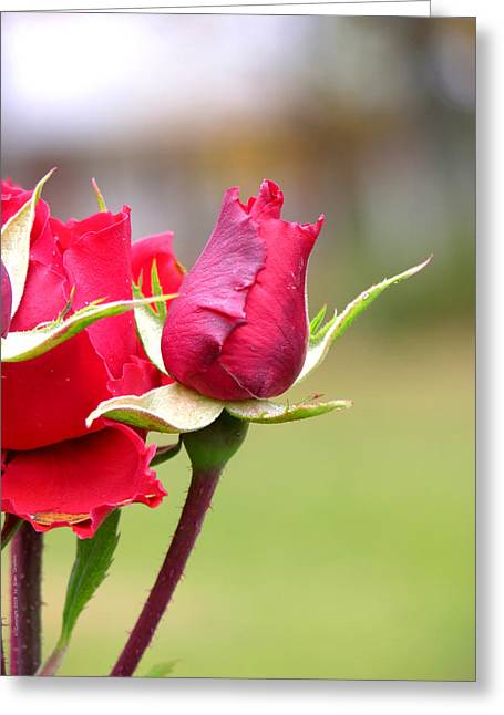 Greeting Card featuring the photograph rosa 'Proud Mary' 2964 by Brian Gryphon