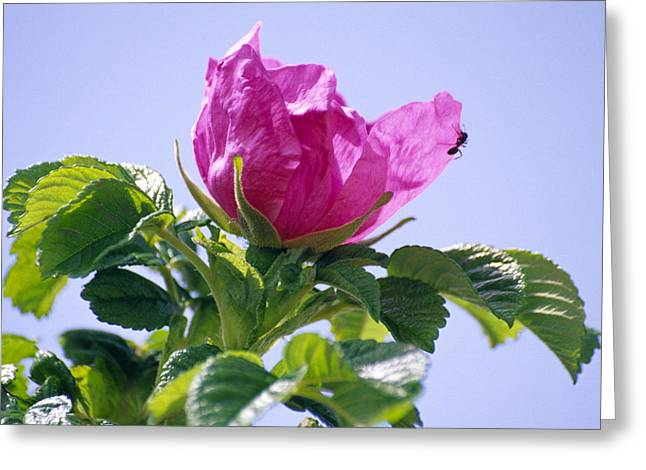 Rosa Rugosa Flower Greeting Card by Dr. Nick Kurzenko