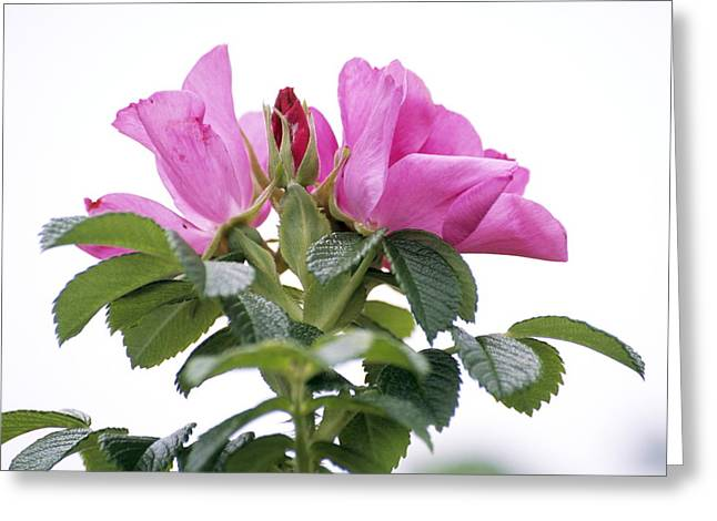 Rosa Rugosa Flowers Greeting Card by Dr. Nick Kurzenko