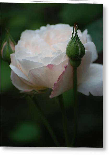 Rose - White Greeting Card by Dickon Thompson