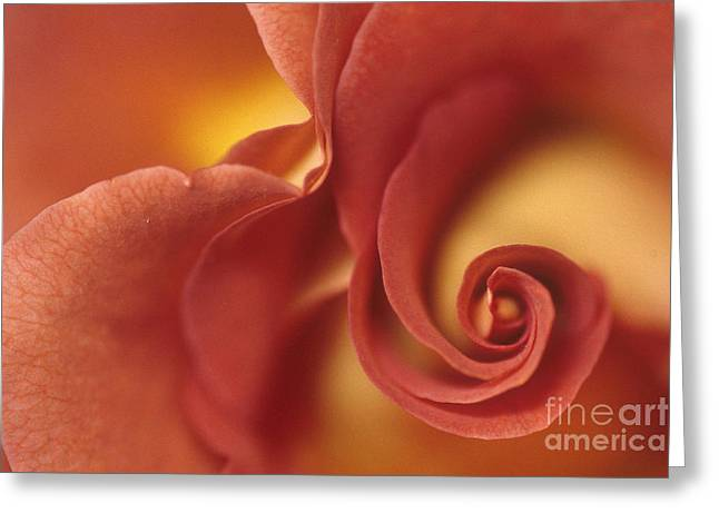 Rose 2 Greeting Card by Anne Gordon