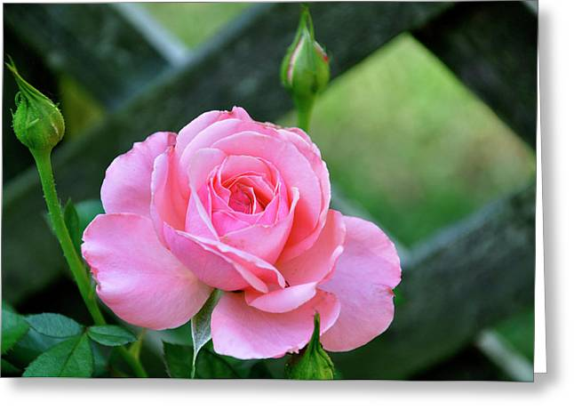Greeting Card featuring the photograph Rose And Fence by Helen Haw