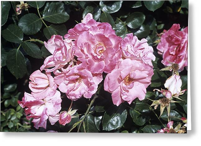 Rose 'anna Livia' Flowers Greeting Card by Adrian Thomas